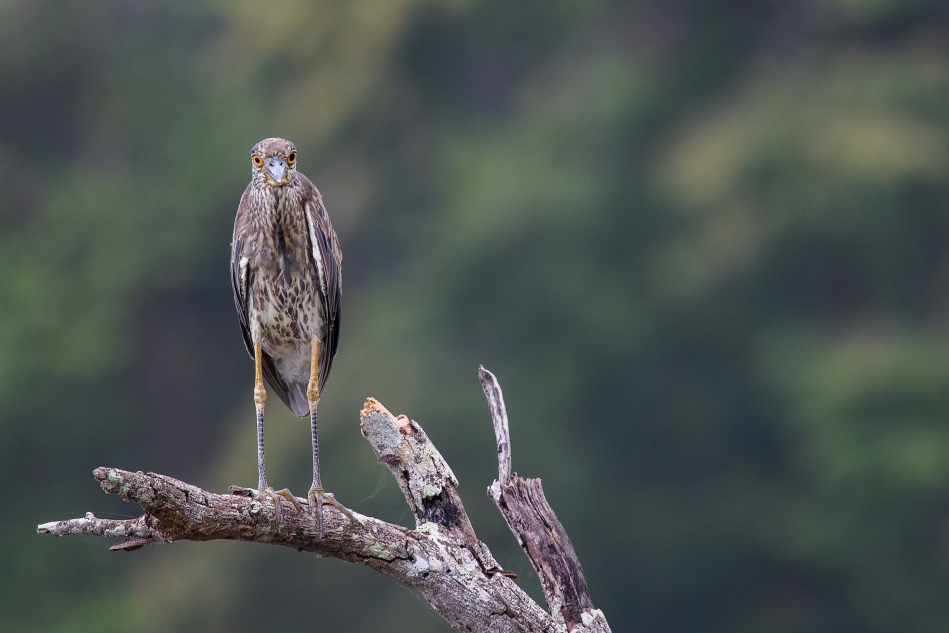 Costa Rica juv yellow crown night heron