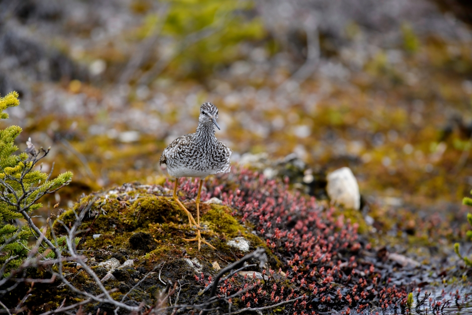 Greater Yellow Legs on Tundra.jpg