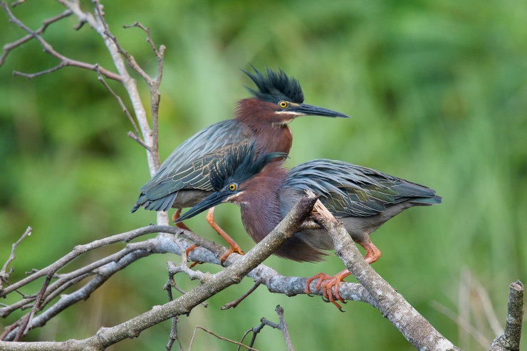 Green Heron Pair.jpg