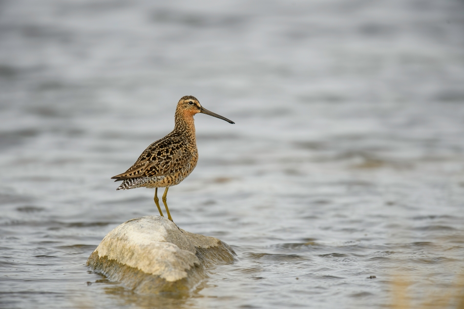 Long-billed dowitcher.jpg