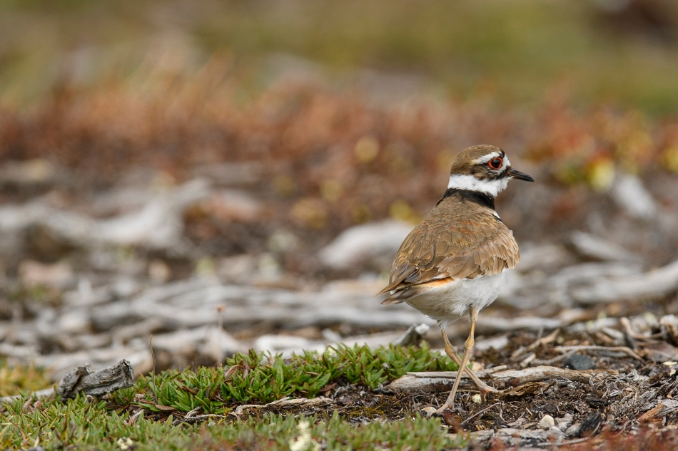nesting killdeer 3