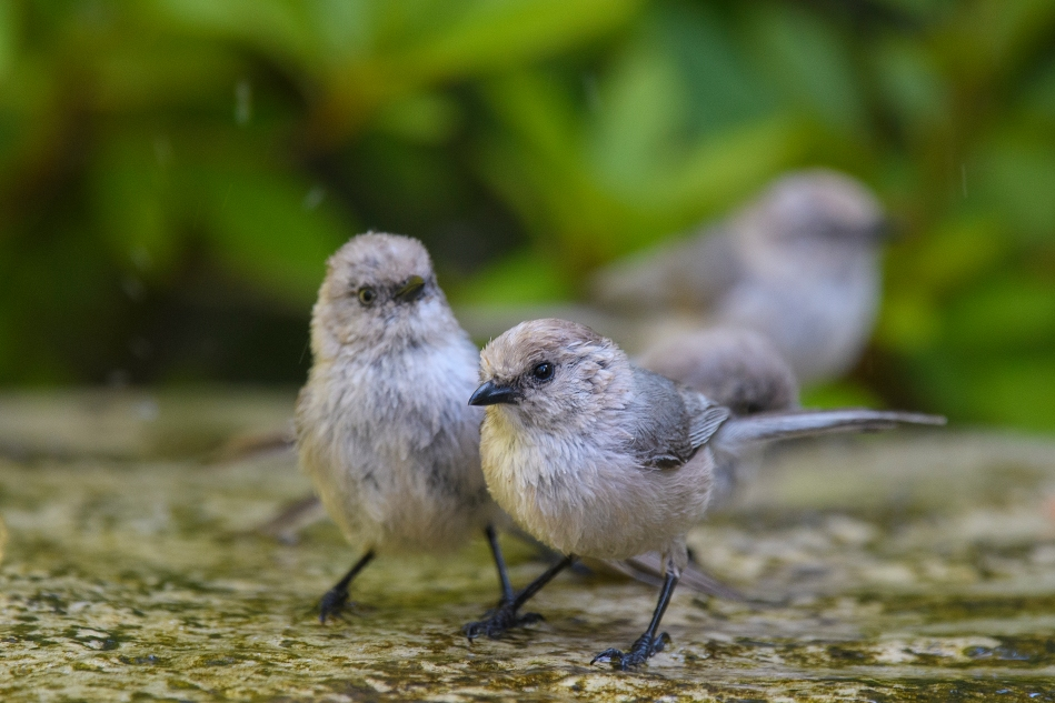 pair of bushtits.jpg