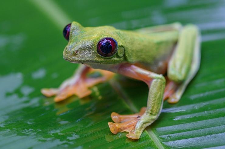 Spurrell's Flying Tree Frog 2.jpg