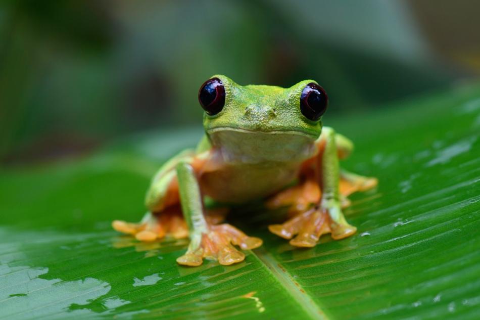 spurrel's flying frog 2