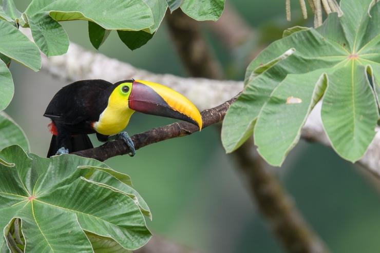 Chestnut mandibled toucan 4