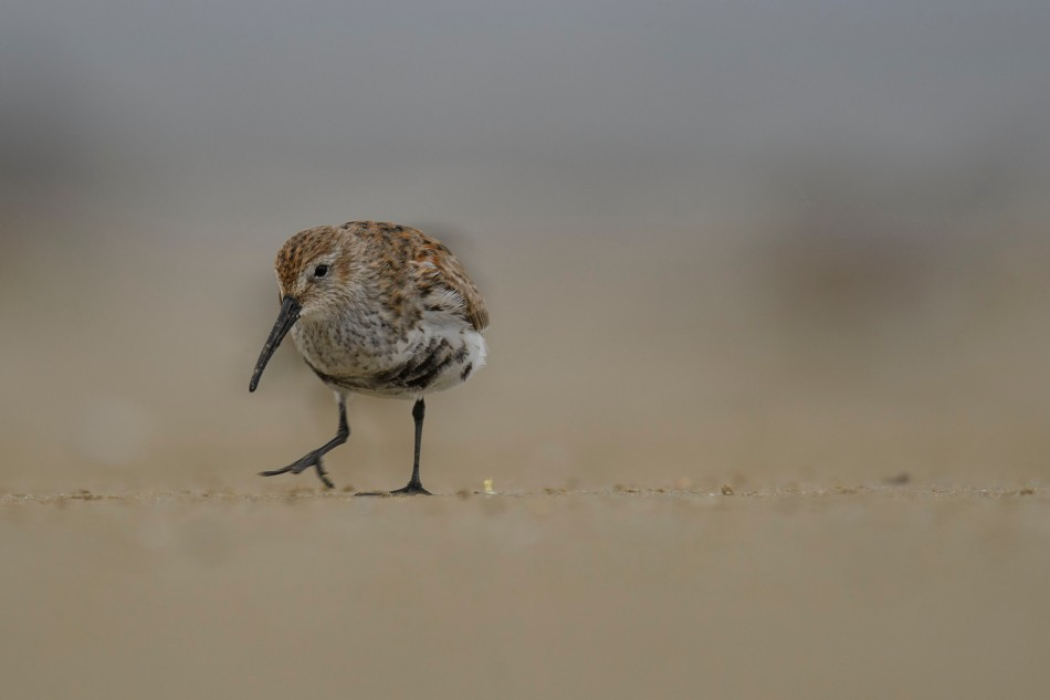 Dunlin Breeding plumage