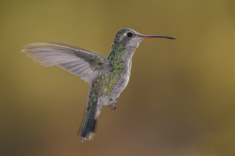 female broad-billed hummer.jpg