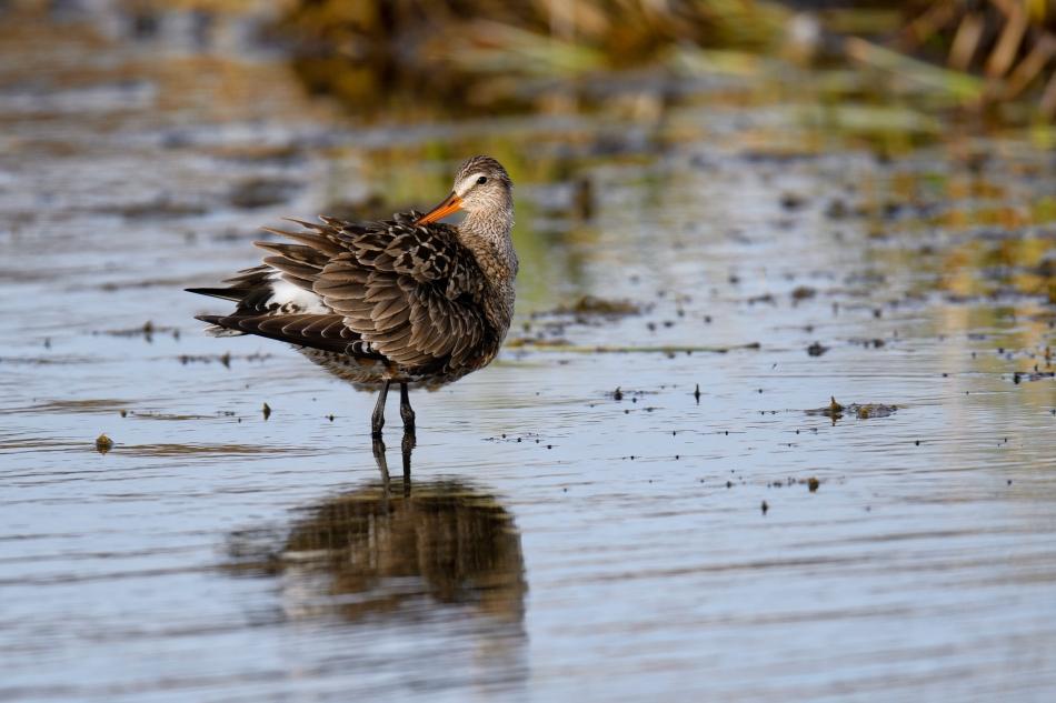 hudsonian godwit female preening