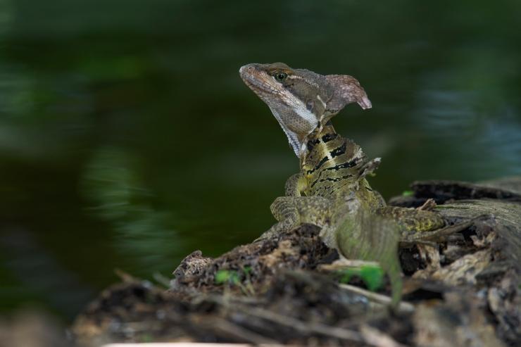 Jesus Christ Lizard.jpg