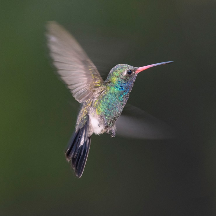 broad billed hummer again.jpg