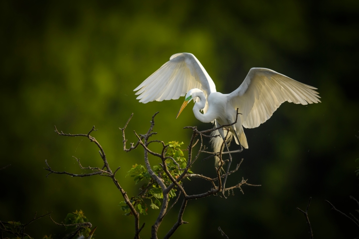 Great Egret trying to steady itself.jpg