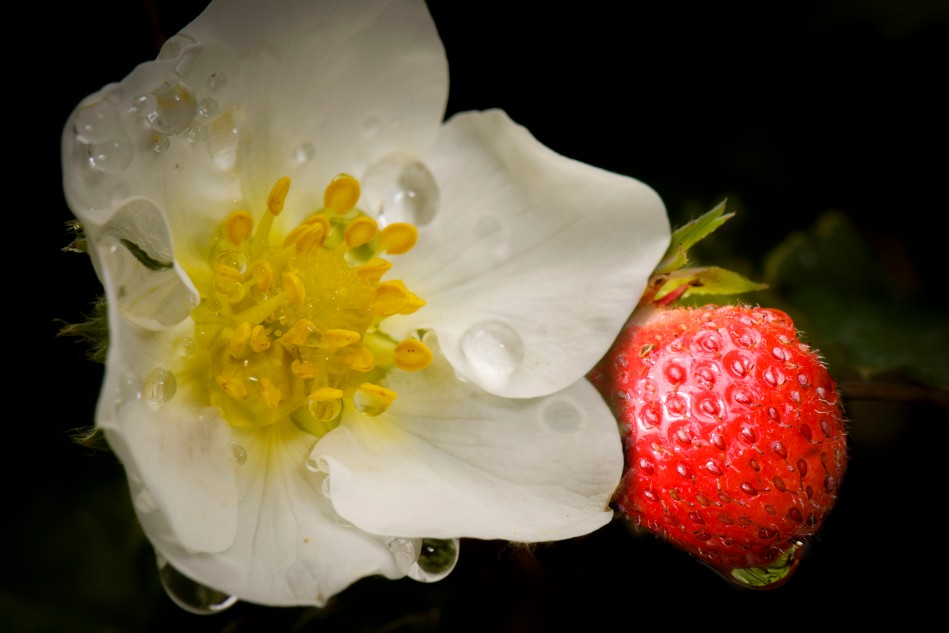 strawberry flower and fruit.jpg