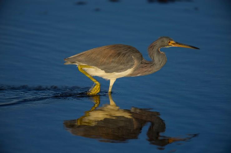 Tri colored heron stalking Florida