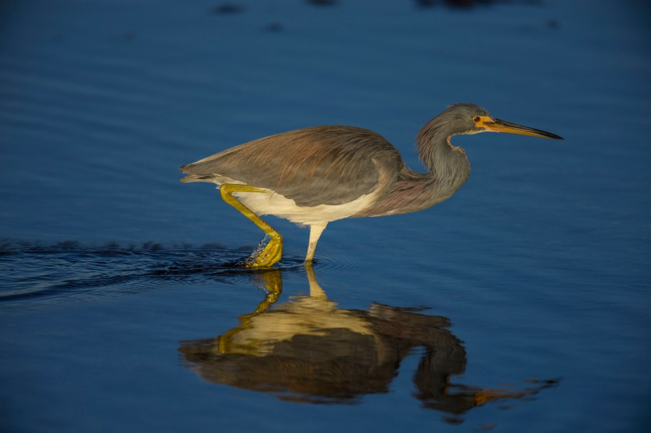 Tri colored heron stalking Florida