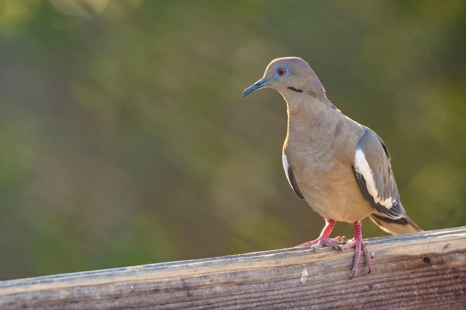 white winged dove.jpg