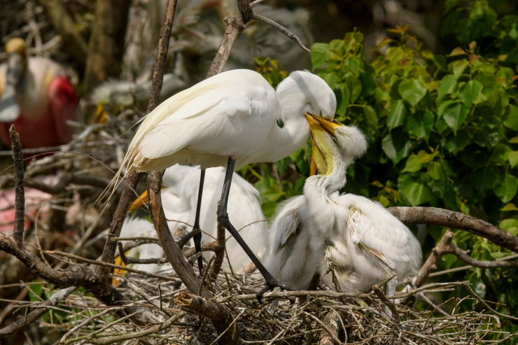 Egrets Feeding 1 High Island