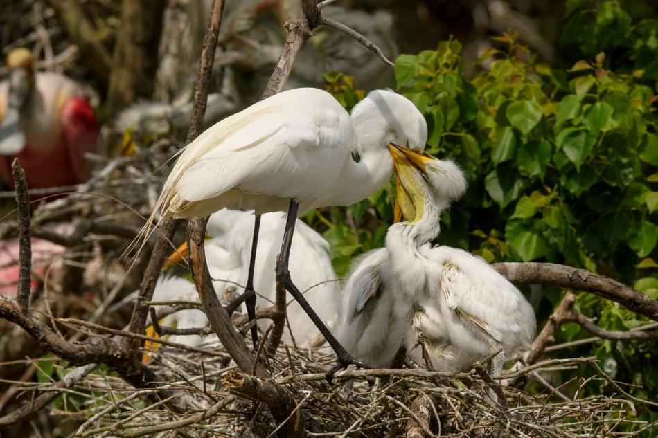 Egrets Feeding 1 High Island