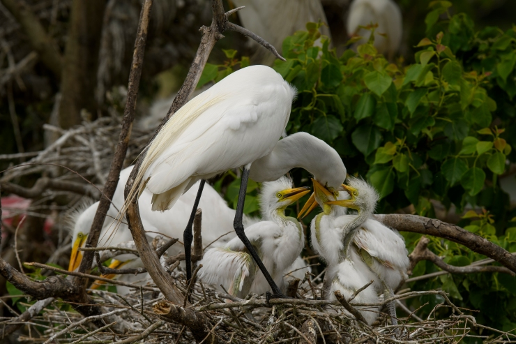 Egrets Feeding 1 High Island.jpg