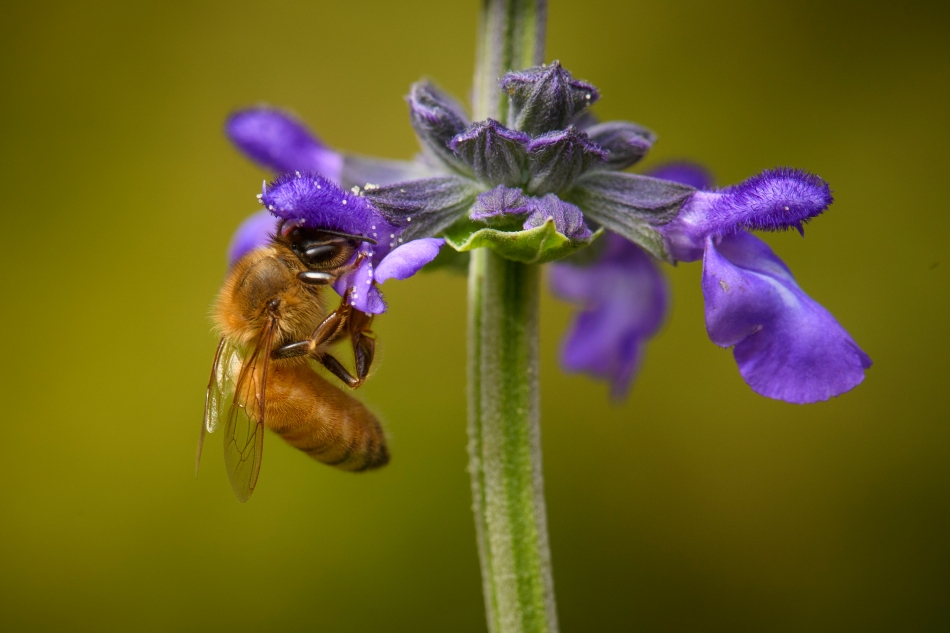 honey bee on mystic spires.jpg