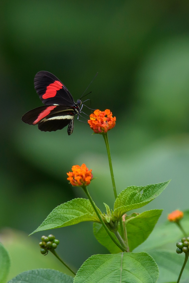 Red Postman Butterfly CR.jpg