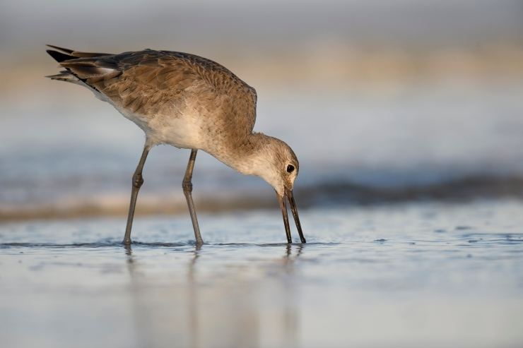 Willet feeding Florida.jpg