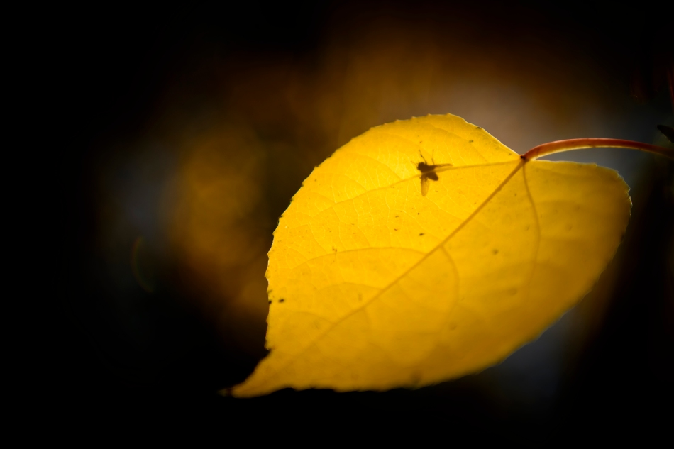backlit aspen leaf with fly