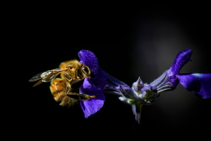 Bee on Salvia.jpg