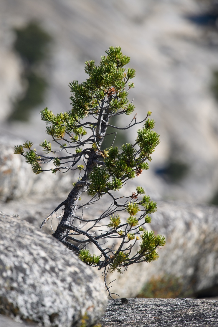 Lone Pine Yosemite.jpg