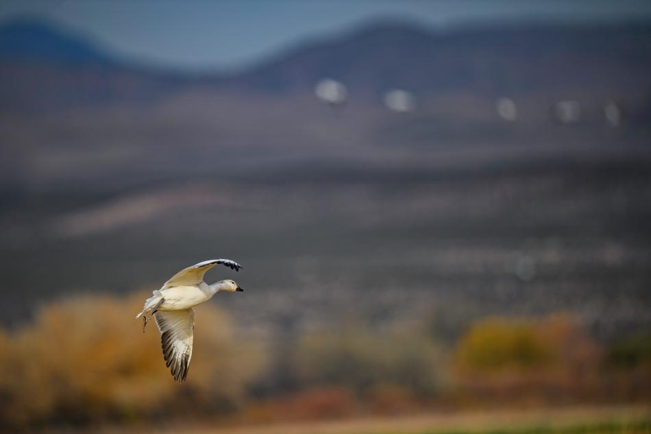 Bosque Snow Goose