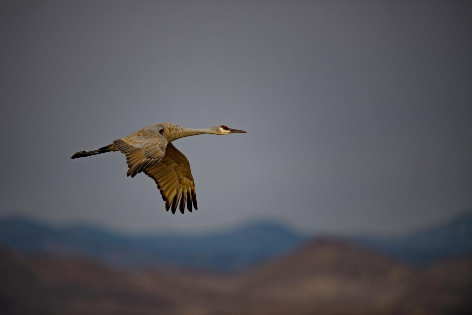 Flying Sandhill Crane