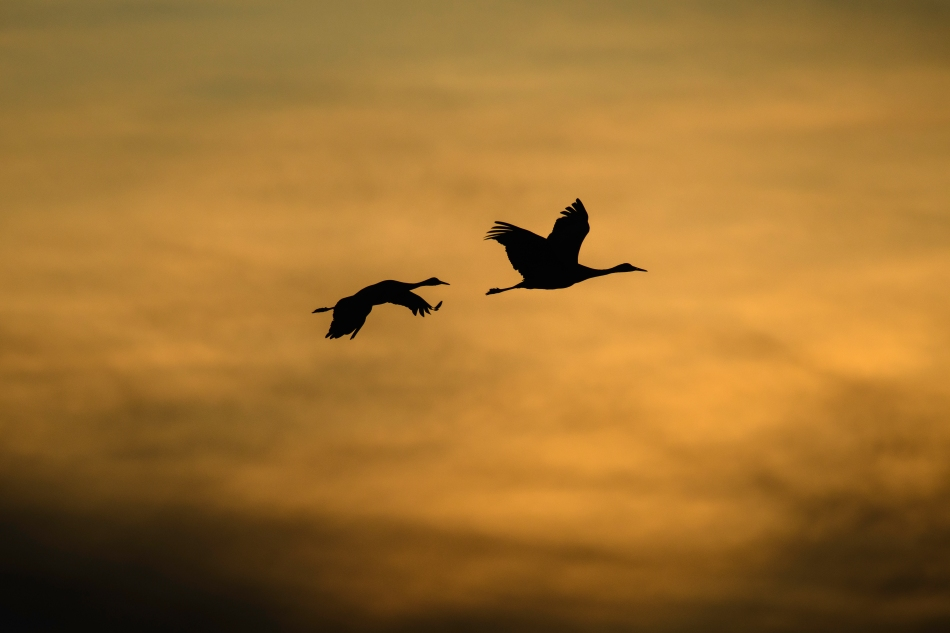 Sandhill crane silhouettes at sunset.jpg