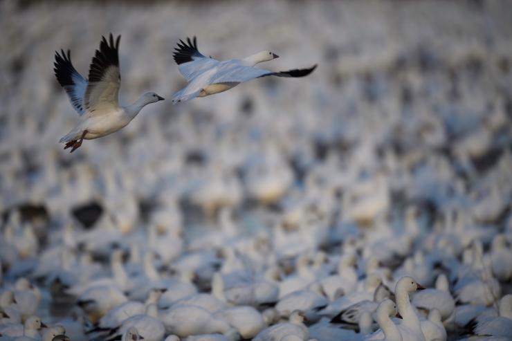Snow Geese white on white.jpg