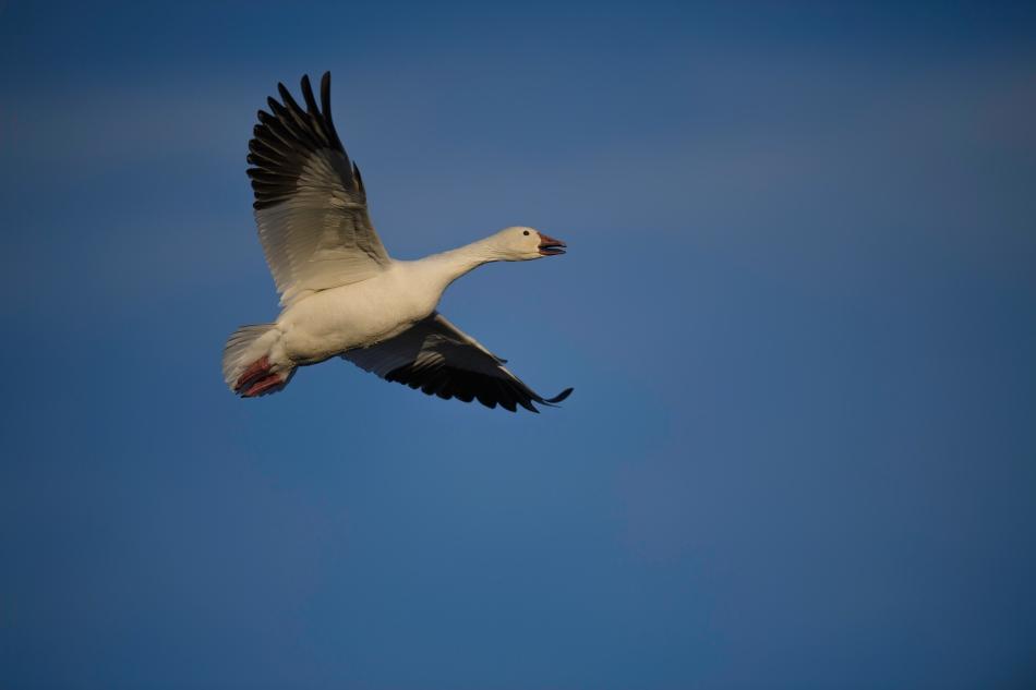 snow goose tomium.jpg