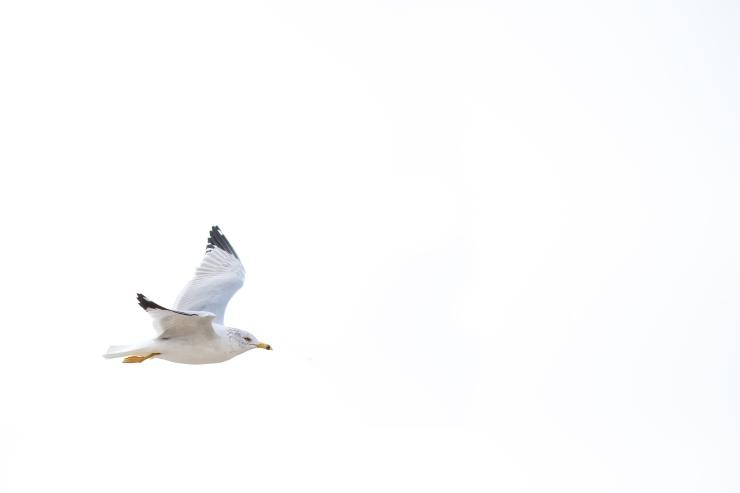 Port A 197613-1-ring-billed gull.jpg