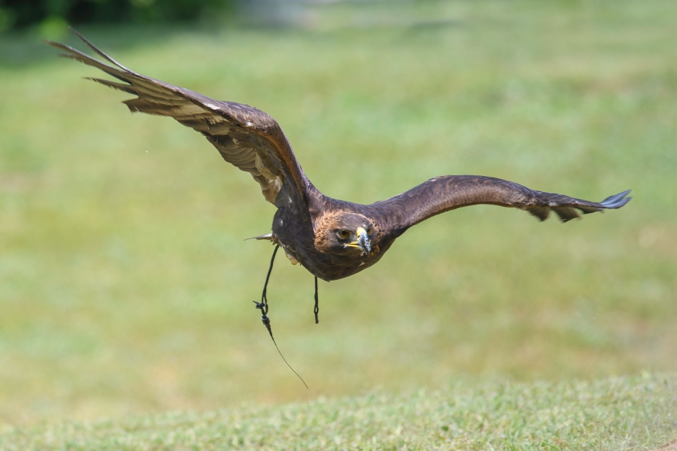 Golden Eagle in flight 1