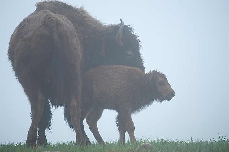 Mama Bison and calf.jpg