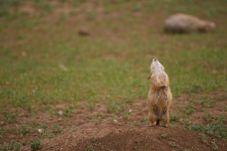 Prairie Dog Glee.jpg
