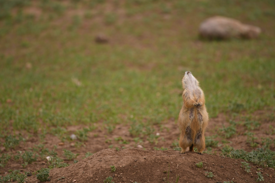 Prairie Dog Glee.jpg