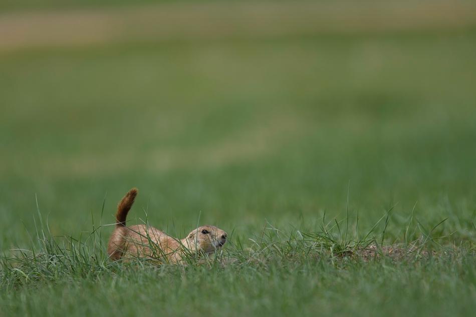 Prairie Dog peekaboo