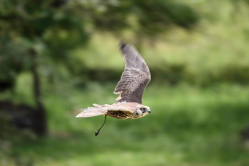 Saker falcon flight 5