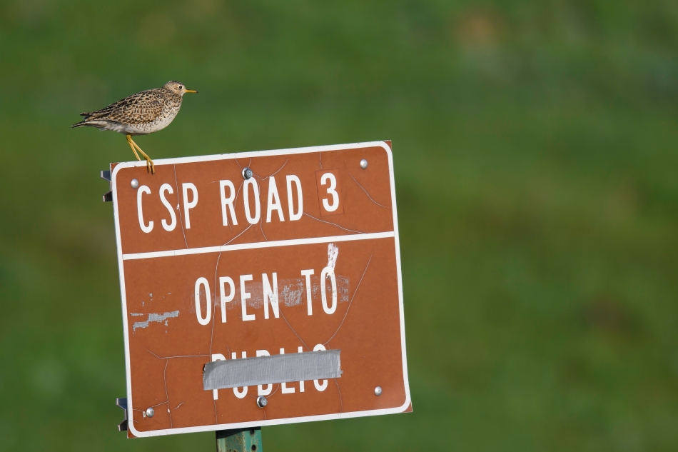Upland Sandpiper on sign.jpg