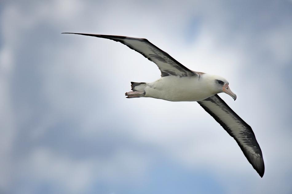 Albatross 001.jpg