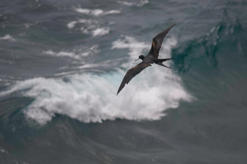 Great Frigate Bird male