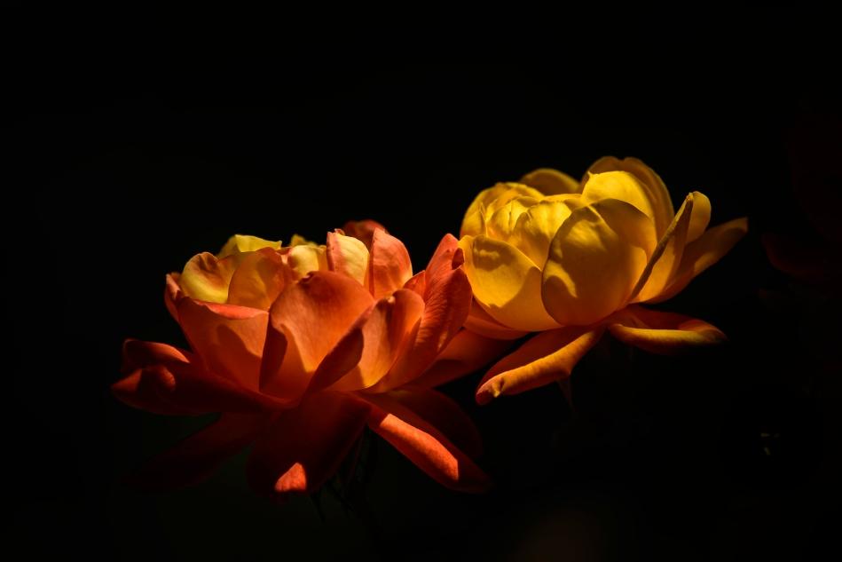Judy Garland Roses.jpg