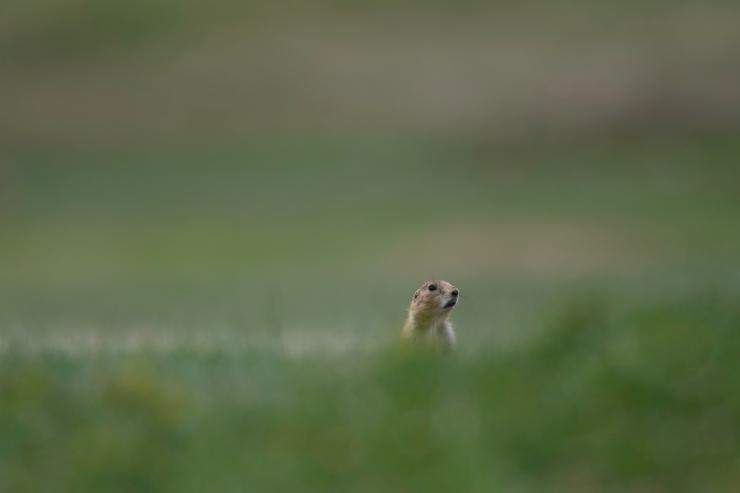 Lone Prairie Dog.jpg