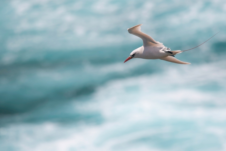 Red-footed Tropicbird2.jpg