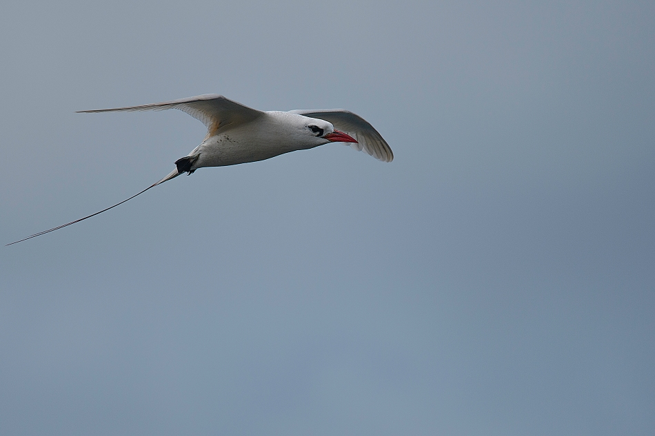 Red-tailed Tropicbird 2