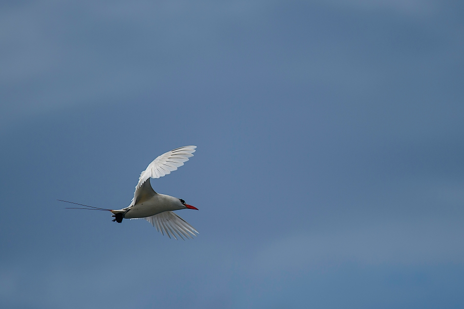 Red-tailed Tropicbird 3
