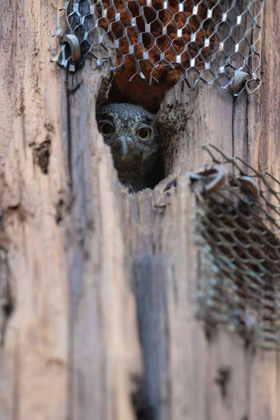 Day 1 Elf Owl nestling.jpg