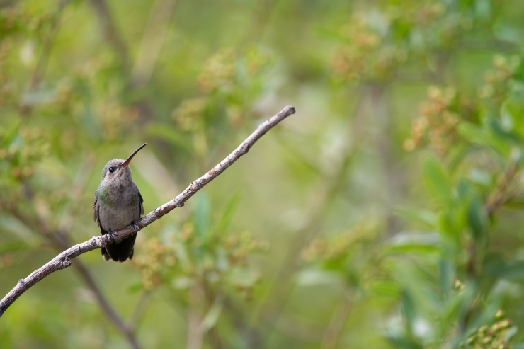 Day 1 female Broad-billed hummer perched.jpg